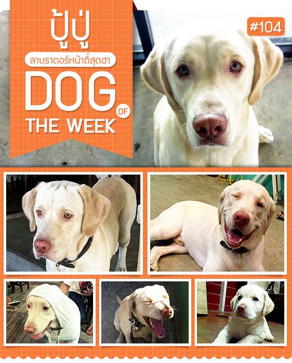 นัองหมา, สุนัข,เชสเตอร์, น่ารัก, บูลมาสติฟฟ์ , ทองเอก, Bullmastiff,การดูแล,เทคนิคการเลี้ยงดู, dog of the week 103