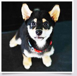 นัองหมา, สุนัข, น่ารัก, การดูแล,เทคนิคการเลี้ยงดู, โทชิ, TOSHI, หมาชิบะ, สุดซ่า, แดนปลาดิบ, ToShi ShibaDog,dog of the week 105