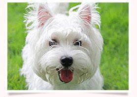 นัองหมา, สุนัข, น่ารัก, การดูแล,เทคนิคการเลี้ยงดู, สุดแสบ, ดีด้า, Highland White Terrier, 7Eleven, dog of the week 106