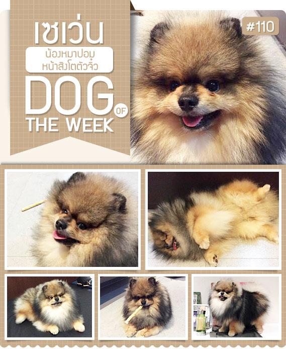 นัองหมา, สุนัข, น่ารัก, การดูแล,เทคนิคการเลี้ยงดู, เซเว่น, seven,7 , สิงโต, ขนฟู, หน้าสิงโต,  dog of the week 110