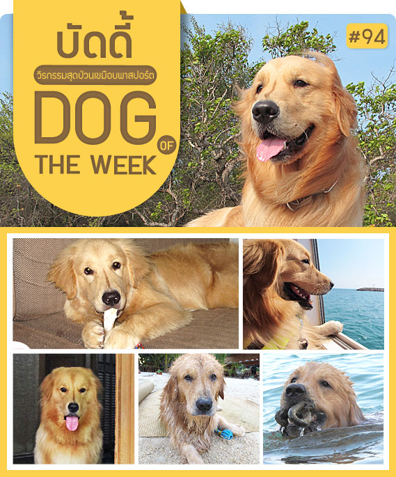 นัองหมา, สุนัข, น่ารัก, ซูโม่, sumo, dog of the week 94