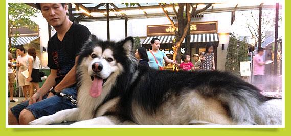 นัองหมา, สุนัข, น่ารัก, ซูโม่, sumo, dog of the week 95