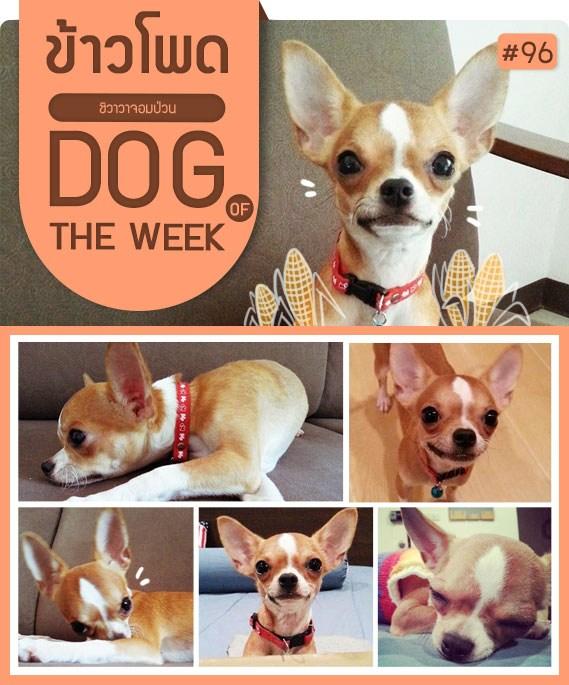 ¹ÑͧËÁÒ, ÊعѢ, ¹èÒÃÑ¡, ¢éÒÇâ¾´, kaopod, dog of the week 96