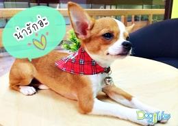 Dogilike.com :: ปลอกคอเลิฟลี่