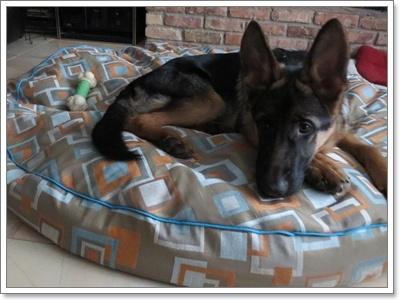Dogilike.com :: 10 สายพันธุ์น้องหมาที่ไม่น่าจะเลี้ยงในเมืองได้ แต่เลี้ยงได้!