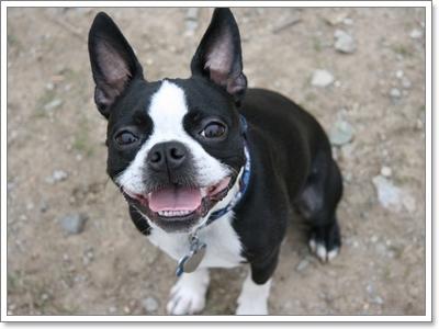 """Dogilike.com :: 10 สายพันธุ์น้องหมาเหมาะสำหรับ """"ผู้เลี้ยงมือใหม่"""""""