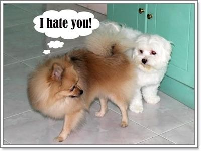 Dogilike.com :: สภาวะอารมณ์แปรปรวน ปัญหาสุดป่วนของปอมเมอเรเนียน