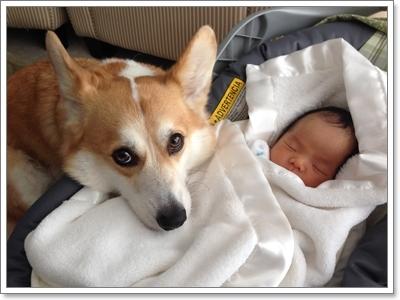 Dogilike.com :: 10 พฤติกรรมสุดเฮี้ยวของคอร์กี้ ที่คุณอาจคาดไม่ถึง!