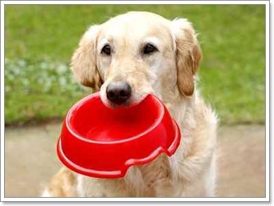 Dogilike.com :: เจาะปัญหา พฤติกรรมช่างขุดและกินไม่เลือกของโกลเด้น
