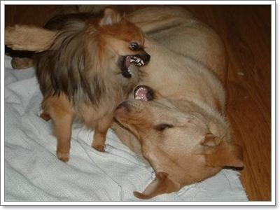 Dogilike.com :: เร่งจัดการ! 5 พฤติกรรมน่าปวดหัวของปอมเมอเรเนียน