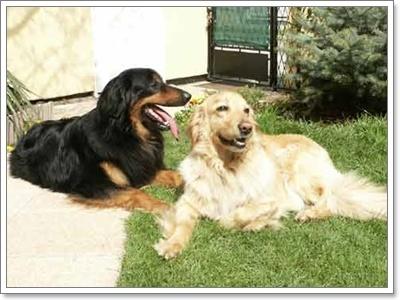 Dogilike.com :: เทคนิคง่ายๆ ฝึกโกลเด้น รีทรีฟเวอร์ให้เฝ้าบ้าน