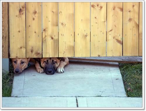 Dogilike.com :: สะเทือนใจ! ภาพ 2 สุนัขนอนมองงานศพนายทหารสุดรัก