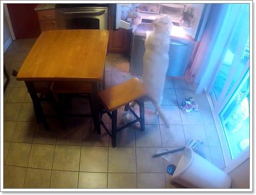 Dogilike.com :: จะเกิดอะไรขึ้นเมื่อเจ้าของตั้งกล้องแอบดูพฤติกรรมเจ้าตูบตอนไม่อยู่บ้าน?