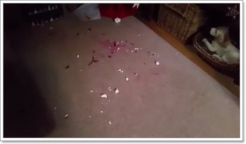 Dogilike.com :: ชาวเน็ตปลื้ม! คลิปเจ้าตูบสำนึกผิดหลังทำลายลูกบอลคริสต์มาส