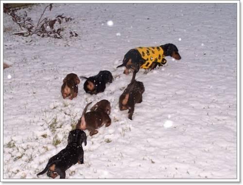 Dogilike.com :: 16 ภาพความน่ารัก เมื่อน้องหมาไส้กรอกตะลุยหิมะ