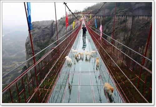 Dogilike.com :: หวาดเสียว! ฝูงลูกสุนัขรอดหวุดหวิด หลังเดินตามนักท่องเที่ยวขึ้นสะพานแก้วสูง 180 เมตร