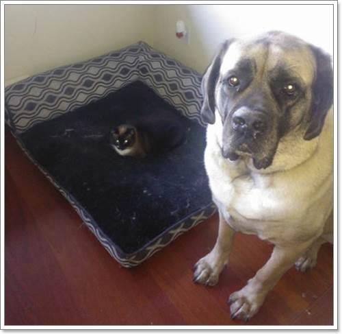Dogilike.com :: 15 ภาพน่ารัก เมื่อสุนัขถูกแมวเหมียวแย่งที่นอน !!