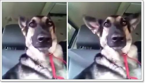 Dogilike.com :: อย่างเป๊ะ! คลิปเจ้าตูบน่ารักกระดิกหูตามจังหวะเพลง