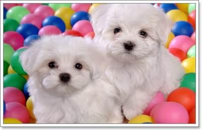 Dogilike.com :: เทคนิคง่าย ๆ วิธีเลือกซื้อลูกสุนัขตัวใหม่ตามบ้าน