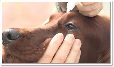 Dogilike.com :: เทคนิคง่าย ๆ ในการหยอดตาให้น้องหมาที่ถูกต้อง