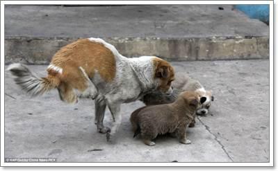 Dogilike.com :: อบอุ่น! แม่สุนัขพิการสองขาหลังจากจีน พาลูก 4 ตัว วิ่งเล่น