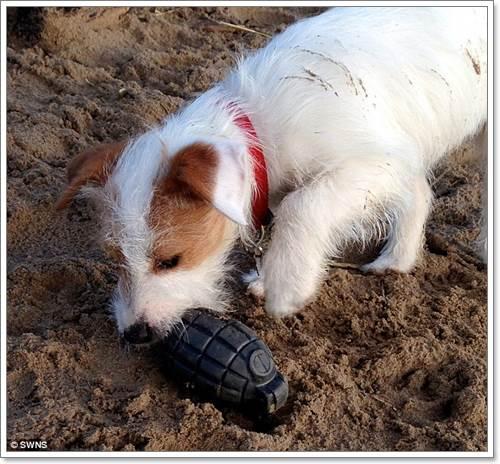 Dogilike.com :: เจ้าของอึ้ง! สุนัขคาบลูกระเบิดปลอมมาให้ขณะวิ่งเล่นบนชายหาด