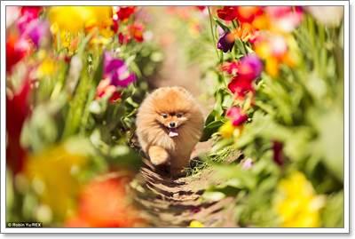 Dogilike.com :: 6 วิธีดูแลปอมเมอเรเนียนให้มีผิวหนังและเส้นขนแข็งแรง