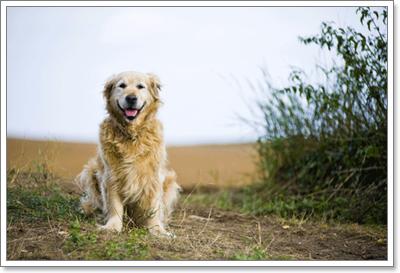Dogilike.com :: โภชนาการที่เหมาะสมสำหรับน้องหมาโกลเด้น รีทรีฟเวอร์