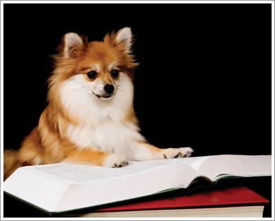Dogilike.com :: 7 วิธีป้องกันไม่ให้น้องหมาปอมเป็นโรคสะบ้าเคลื่อน