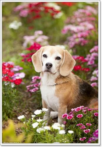 Dogilike.com :: Purin บีเกิ้ลมากความสามารถ ขวัญใจคนรักสัตว์ทั่วโลก