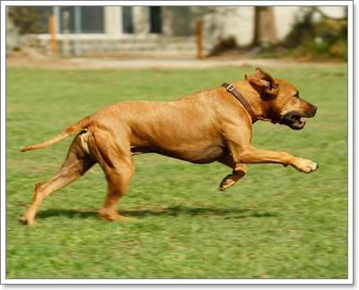 Dogilike.com ::  ข้อศอกด้าน ปัญหากวนใจที่มักพบในน้องหมาขนสั้น