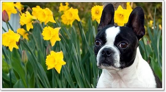 Dogilike.com :: 4 ข้อดีของการเลี้ยงน้องหมาขนสั้น