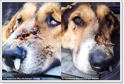 Dogilike.com :: น่าสงสาร! พบสุนัขถูกยิงใบหน้าเดินหลงทางในหมู่บ้าน