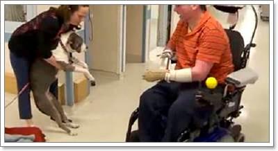 Dogilike.com :: น่ารัก! พิทบูลฯ ขาอัมพาตทำหน้าที่บำบัดผู้ป่วยในโรงพยาบาล