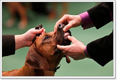 Dogilike.com :: เปิดเคล็ดลับการดูแลสุขภาพน้องหมาก่อนปั้นเข้าประกวด