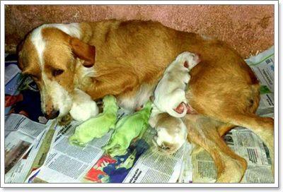 Dogilike.com :: ฮือฮา! แม่สุนัขในสเปนคลอดลูกออกมามีขนสีเขียว
