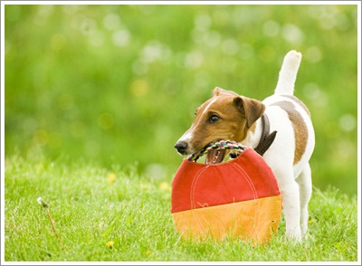 Dogilike.com :: เตรียมความพร้อม! ฟิตหัวใจเจ้าตูบให้แจ่มใสก่อนลงประกวด