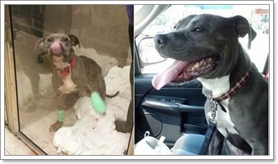 Dogilike.com :: ตำรวจมะกันใจดีรับเลี้ยงสุนัขพิทบูลถูกทำร้าย