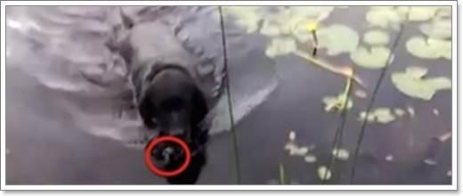 Dogilike.com :: ยกย่อง! ลาบราดอร์ฮีโรช่วยชีวิตลูกนกน้อยตกน้ำ