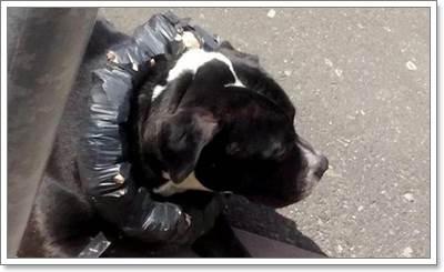 Dogilike.com :: ชาวเน็ตรุมประณาม! หลังเจ้าของนำเศษก้อนอิฐทำปลอกคอให้สุนัข