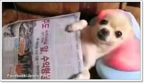 Dogilike.com :: สุดฟิน! คลิปชิวาวานอนชิลล์ พักสายตาบนหมอนนวดไฟฟ้า