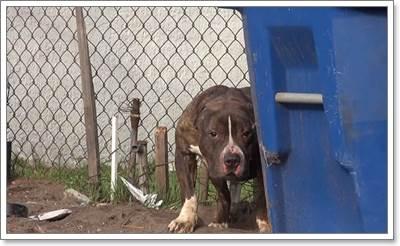 Dogilike.com :: ชีวิตใหม่! พิทบูลได้รับความช่วยเหลือ หลังถูกกลุ่มเด็กปาหินใส่