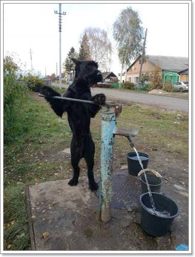 Dogilike.com :: เก่งสุดยอด! สุนัขแสนรู้ปั้มน้ำ ไถดิน ช่วยเจ้าของทำงานเกษตร