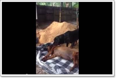 Dogilike.com :: ผูกพัน! คลิปสุนัขเห่าปลุก ไม่ยอมออกห่างศพสุนัขพี่ชาย