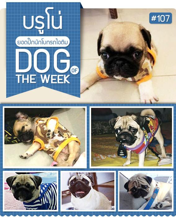 นัองหมา, สุนัข, น่ารัก, การดูแล,เทคนิคการเลี้ยงดู, บรูโน่, BRUNO, หมาปั๊ก, หน้าย่น, รถไอศครีม, Bruno Pug, dog of the week 107