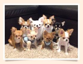 นัองหมา, สุนัข, น่ารัก, การดูแล,เทคนิคการเลี้ยงดู, Pen_paint Chi, Chihuahua, ชิวาวา, ท่ีนอน, dog of the week 108