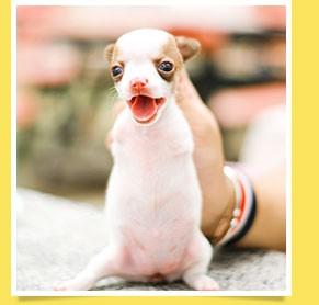นัองหมา, สุนัข, น่ารัก, การดูแล,เทคนิคการเลี้ยงดู, ฮ็อป, Hop, หมาชิวาว่า, สองขา, สองขาหัวใจนักสู้, Hop สองขา,dog of the week 111