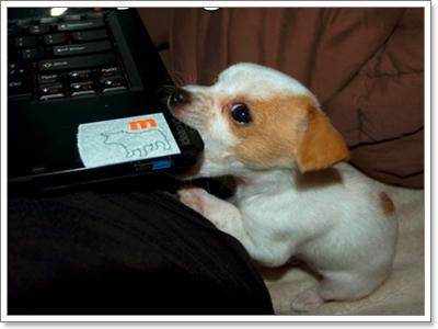 Dogilike.com ::  รวมภาพน้องหมาแจ็ครัสเซลล์สุดกวน