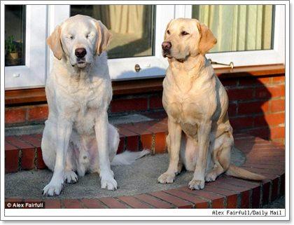 Dogilike.com :: ระวัง!! 4 โรคร้ายที่ทำให้น้องหมาตาบอดได้แบบเฉียบพลัน