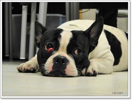 Dogilike.com :: เชอร์รี่ อาย (Cherry eye) โรคตาสุดฮิตในน้องหมา